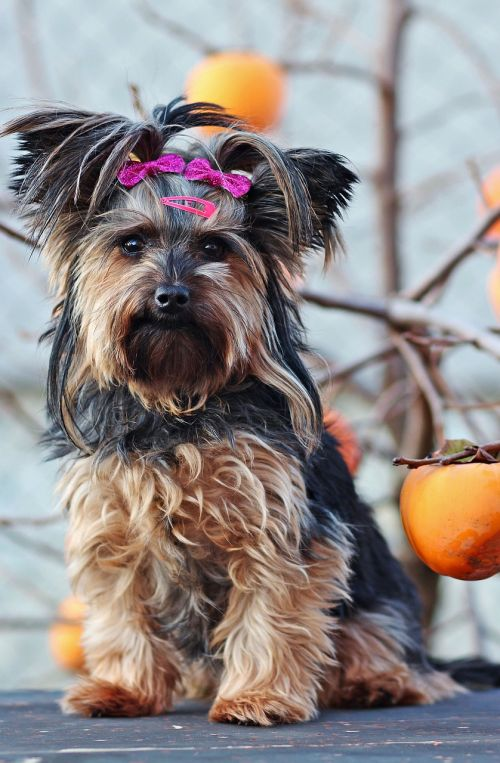 yorkshire terrier dog sitting