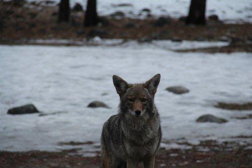 yosemite national park  coyote  wildlife