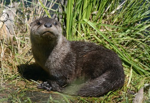 young otter animal