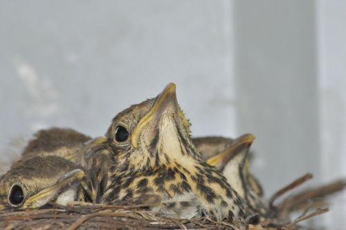 young birds socket