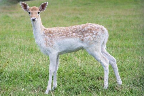 young  deer  bambi