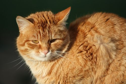 young cat red