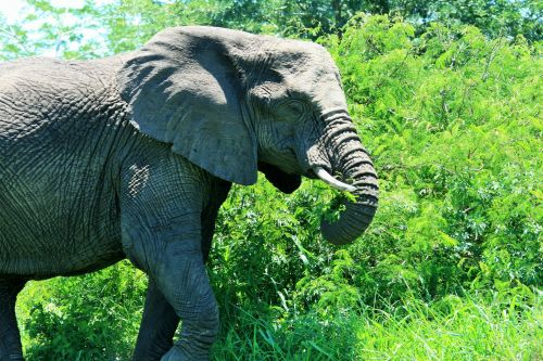 Young African Elephant Grazing