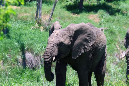 Young African Elephant With Herd