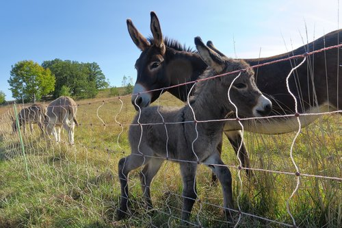 young ass  donkey family  foal
