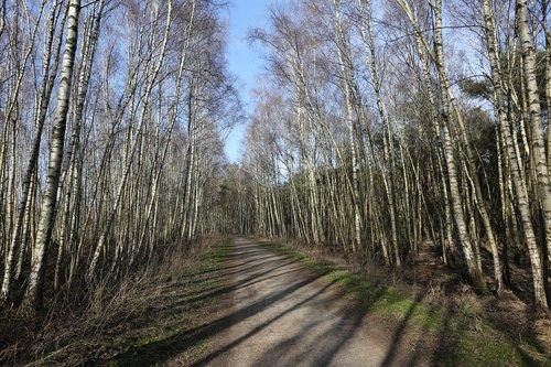young birches  birch  spring walk