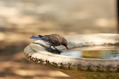 Young Blue Jay At Birdbath