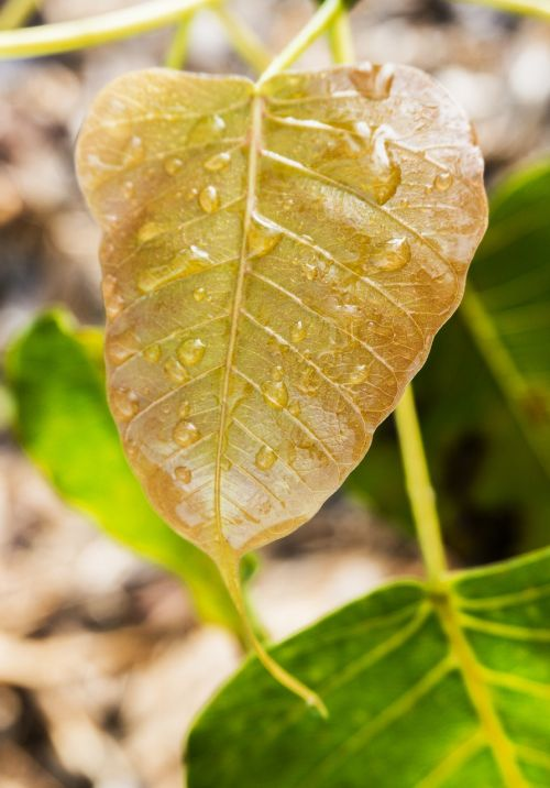 young bodhi leaf bodhi leaf dewdrop on leaf