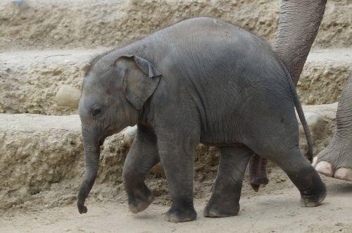 young elephant baby elephant elephant's child