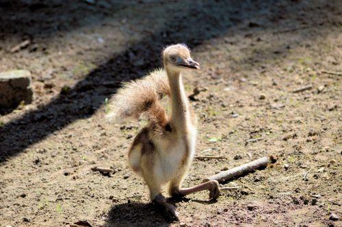 Young Emu