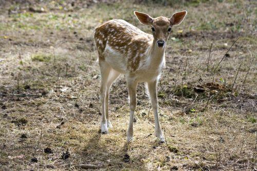young fallow deer kitz fallow deer