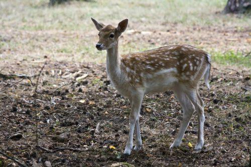 young fallow deer fallow deer fur