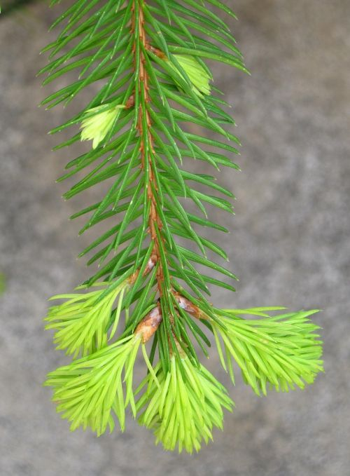 young fir drove spring fir grows