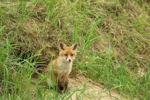 young fox red fox fuchsbau