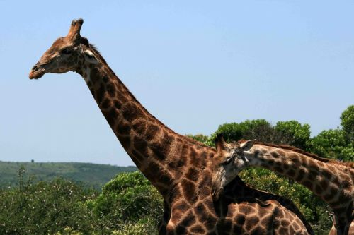 Young Giraffe Rubbing Against Adult