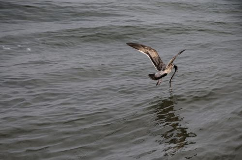 Young Gull Flying Over Ocean
