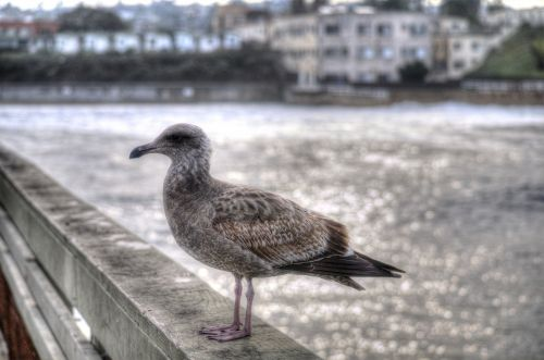 Young Gull On Pier