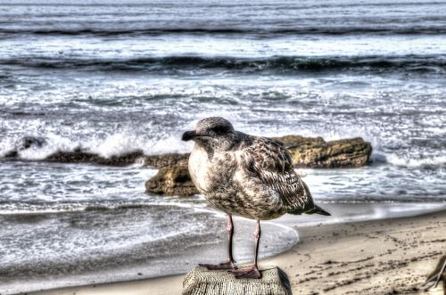 Young Gull On Rock