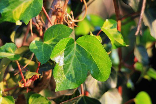 Young Ivy Leaf