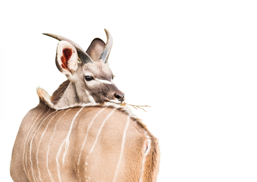 young kudu  male  deer