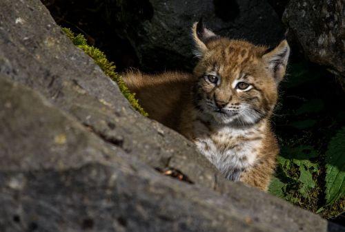 young lynx lynx predator