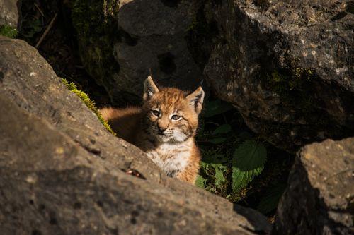 young lynx lynx baby