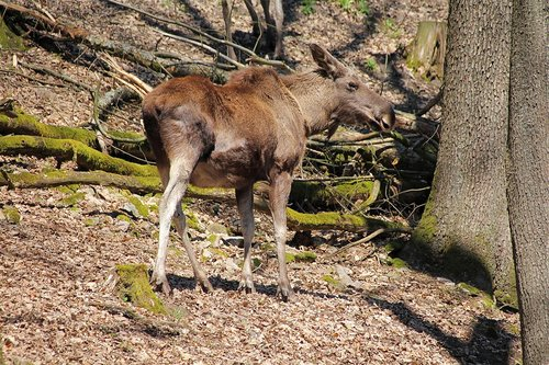 young moose  wild animal  forest