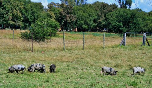 Young Pigs Grazing