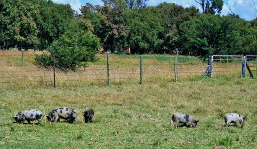 gyvūnai, ūkis, kiaulės, rožinis, ženklinimas, juoda, ganymas, jaunos kiaulės ganosi