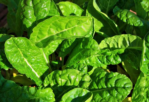 Young Spinach