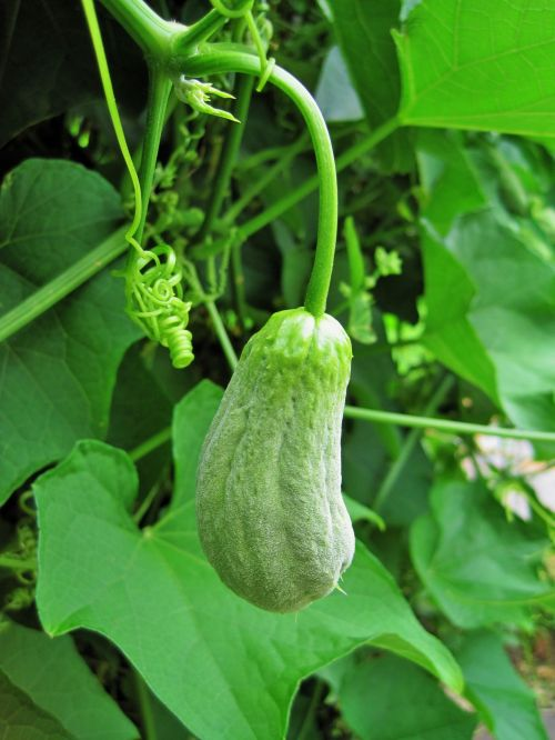 Young Squash On The Vine