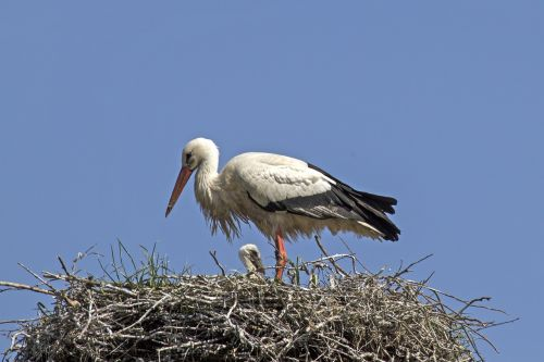 young stork stork storchennest