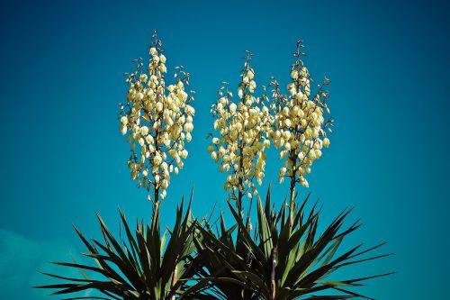 yucca palm blossom