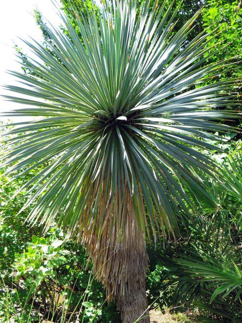 yucca yucca capensis agavacae