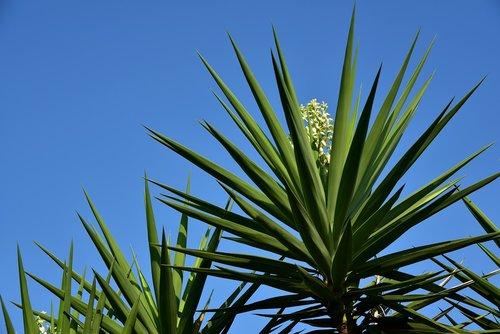 yucca  palm  plant