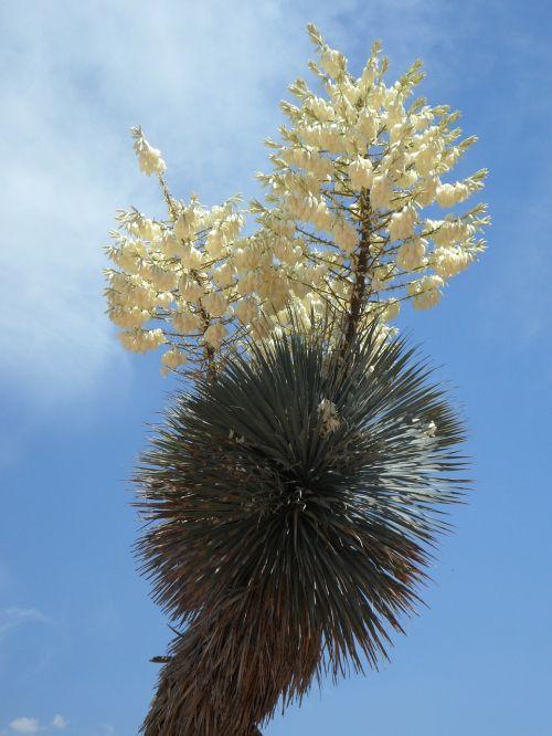 yucca yucca palm bloom