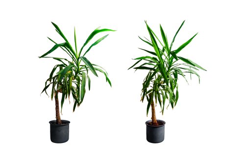 yucca  isolated  flowerpot