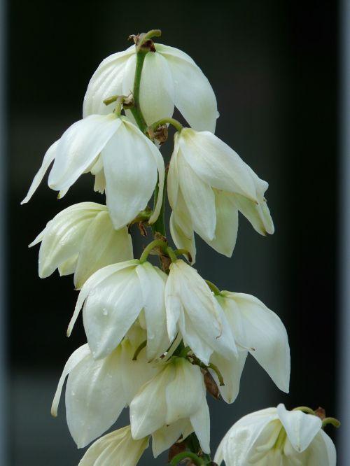 yucca yucca filamentosa agavaceae