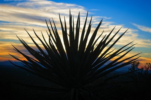 yucca against new mexico sunset  sunset  yucca