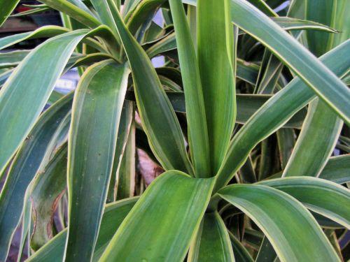Yucca In A Pot
