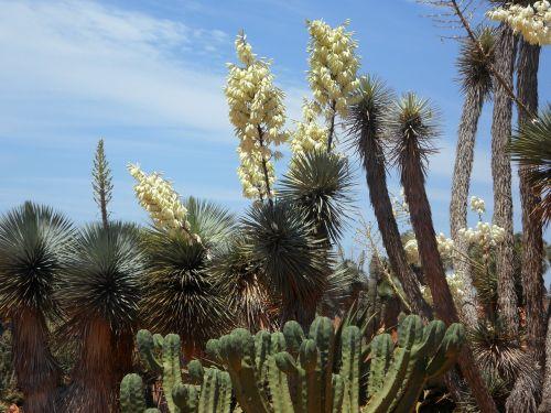 yucca palm yucca flora