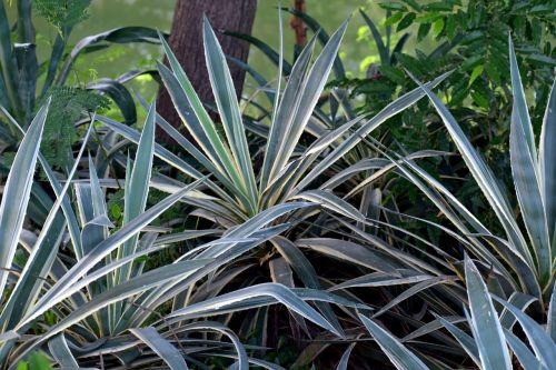 yucca plant shrubs thorny leaf