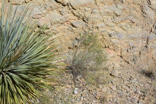 Yucca Plant Desert Texas Park Rocks