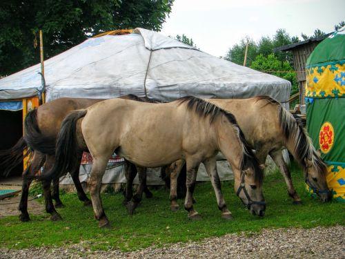 yurt horses tatars