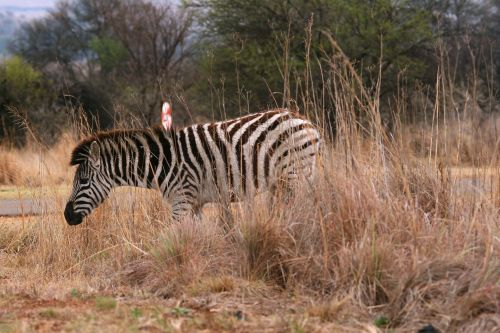 Zebra In Long Grass