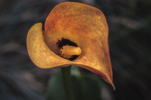 zantedeschia calla kalla