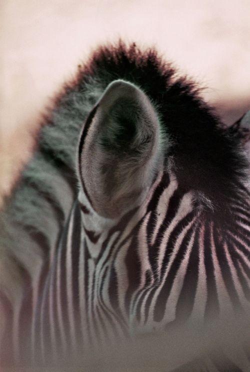 zebra stripes plains zebra
