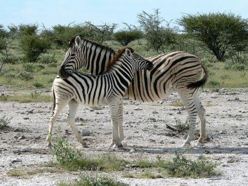 zebra mother with zebra kid africa