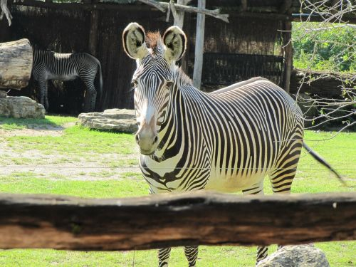 zebra zoo leipzig black and white striped