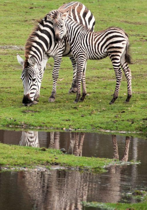 zebra kid mother's love